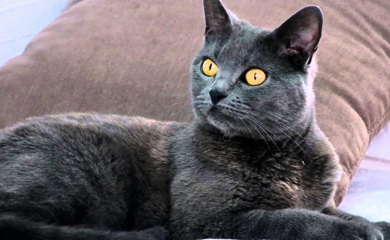 кошки фото шартрезе