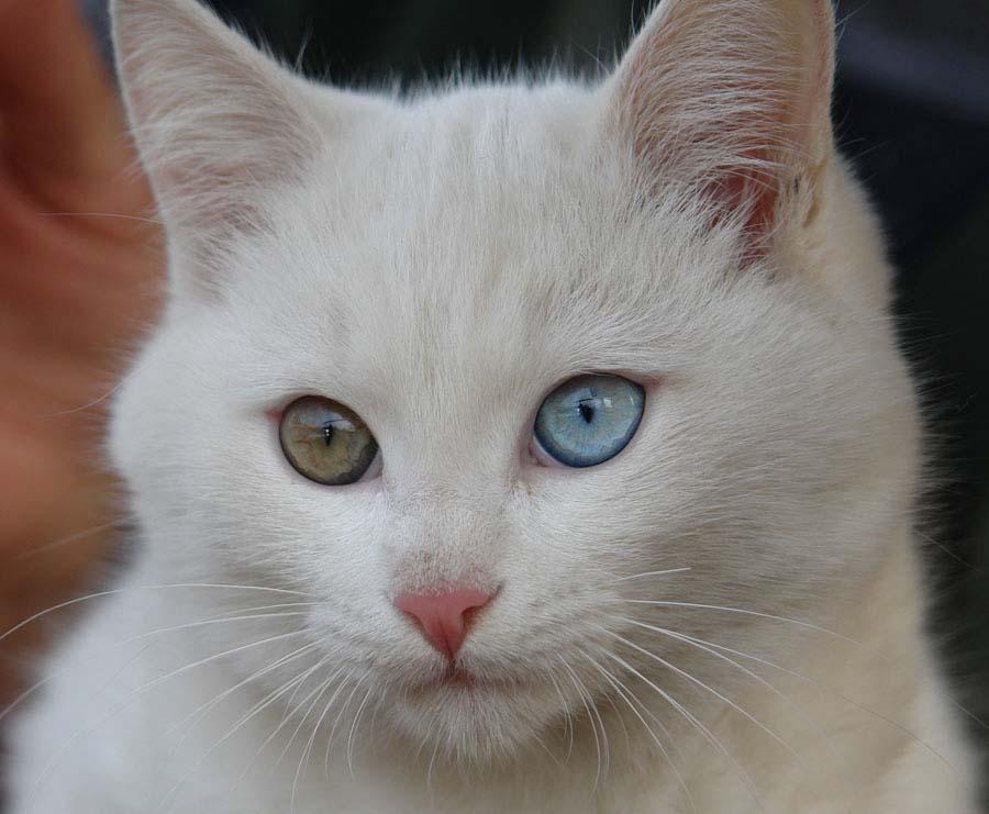 фото разноглазой кошки экран компьютера то