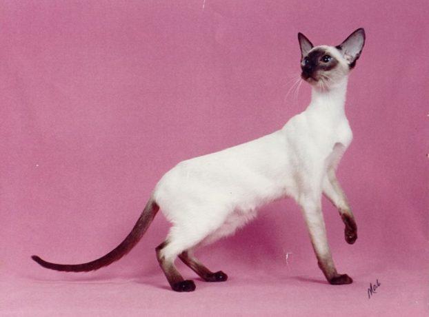 Фото кошек с голубыми глазами, сиамская порода