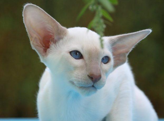 Фото кошек с голубыми глазами, сиамской породы