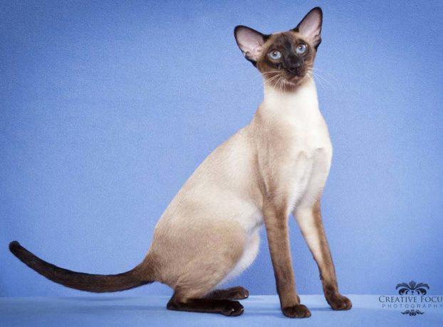 Фото кошек с голубыми глазами, сиамской породы, GP, RW Pattam Prince William