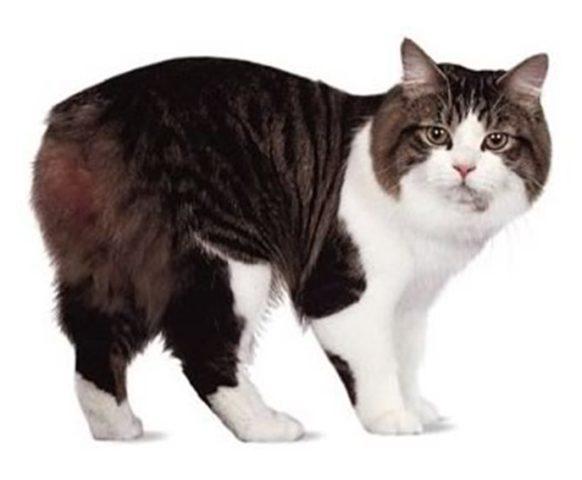 Кошки-бобтейлы и другие породы кошек без хвоста; кошка и кот без хвоста, похожие на рысь
