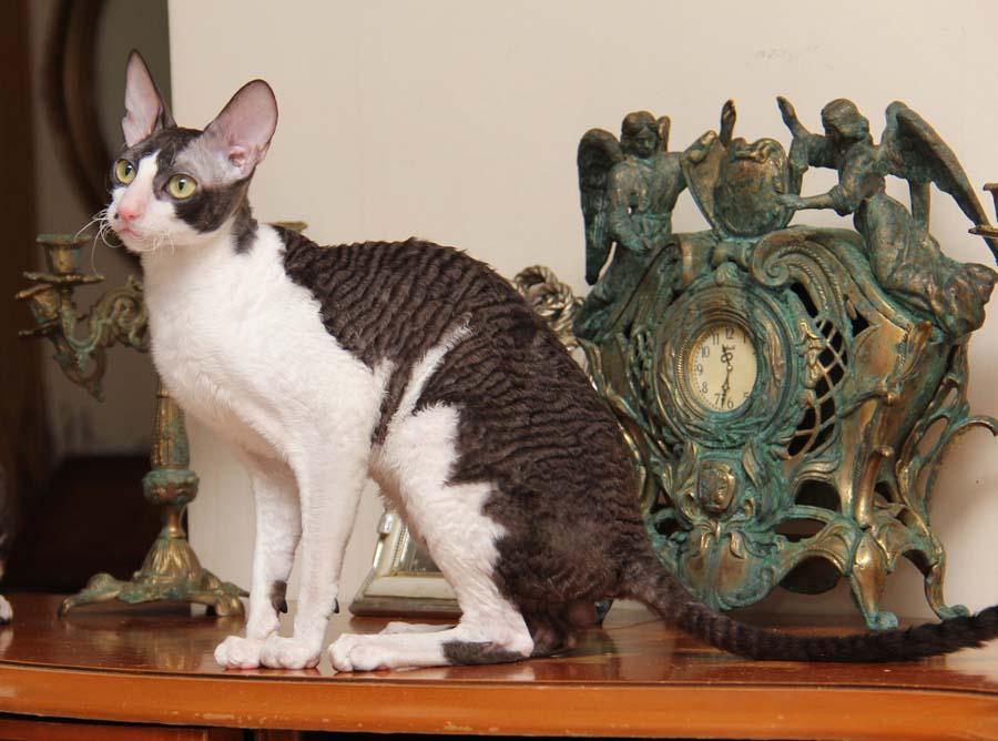 Фото кота корниш-рекс