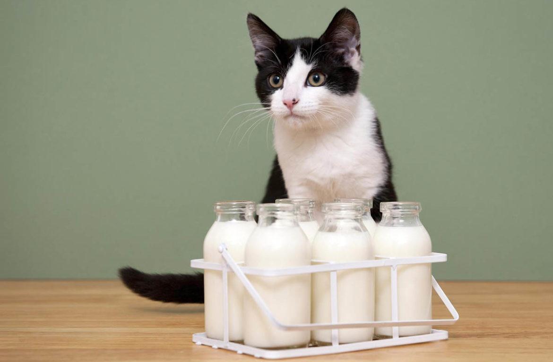 пьют ли кошки молоко