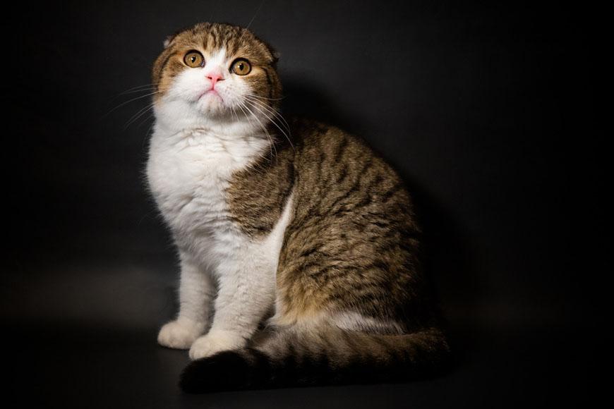 Порода кота с огромными глазами