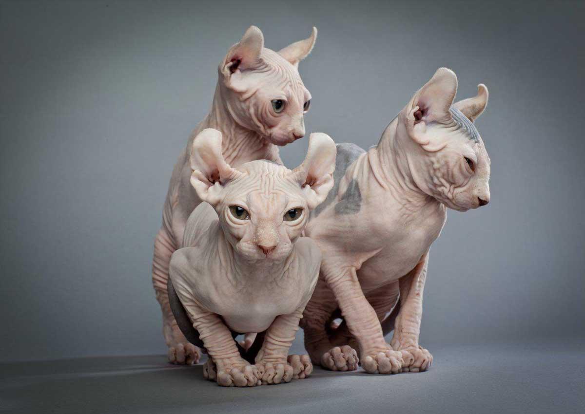 Коты которые не линяют и не пахнут