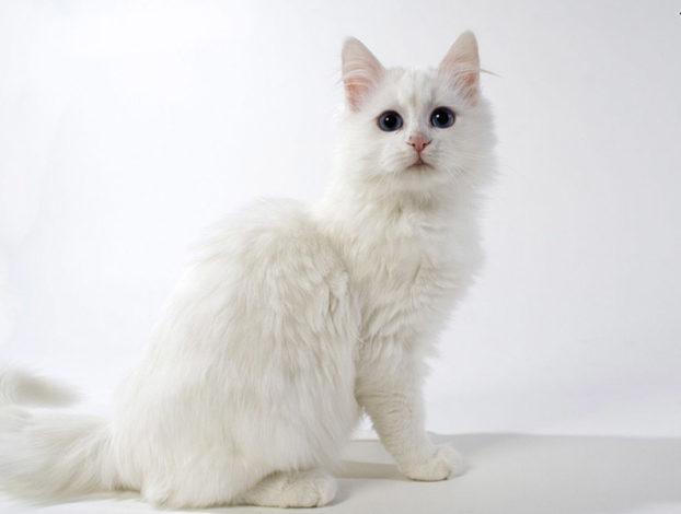 Порода кота с голубыми глазами турецкий ван