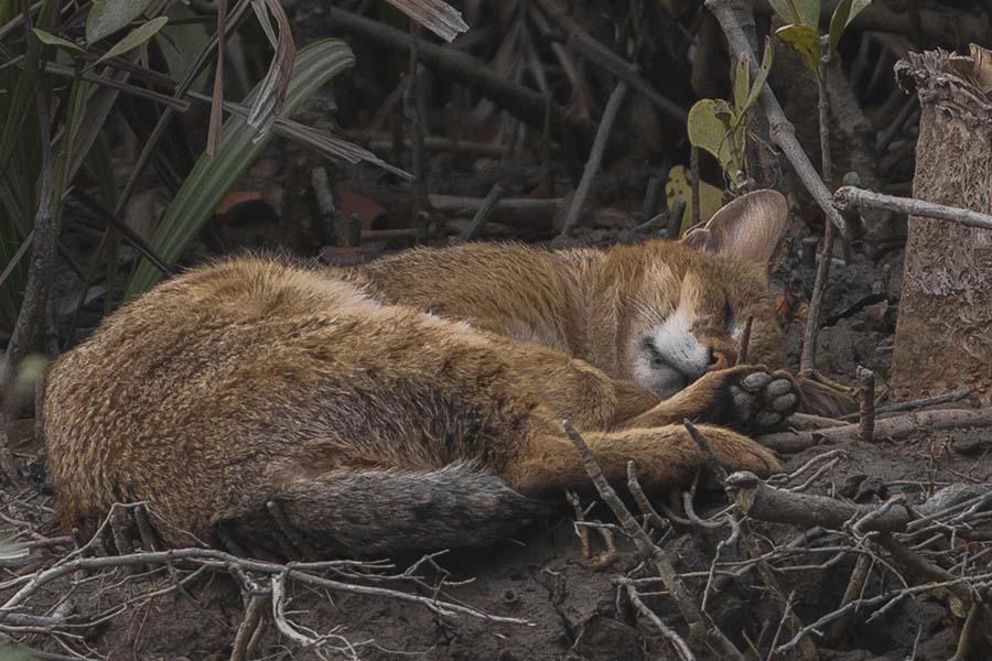 Камышовый кот в красной книге
