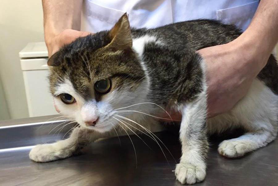 Может ли у кошки быть язва желудка thumbnail