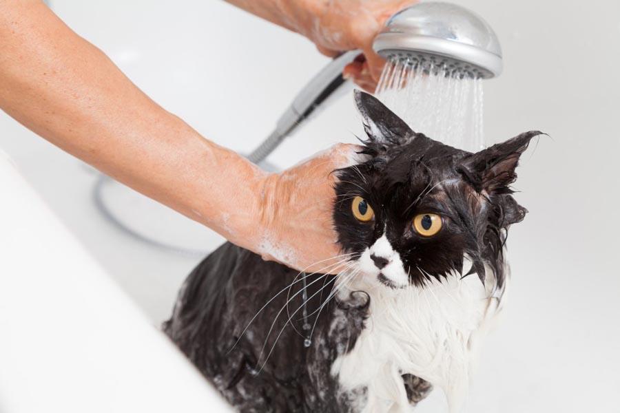 Можно ли мыть кошек шампунем