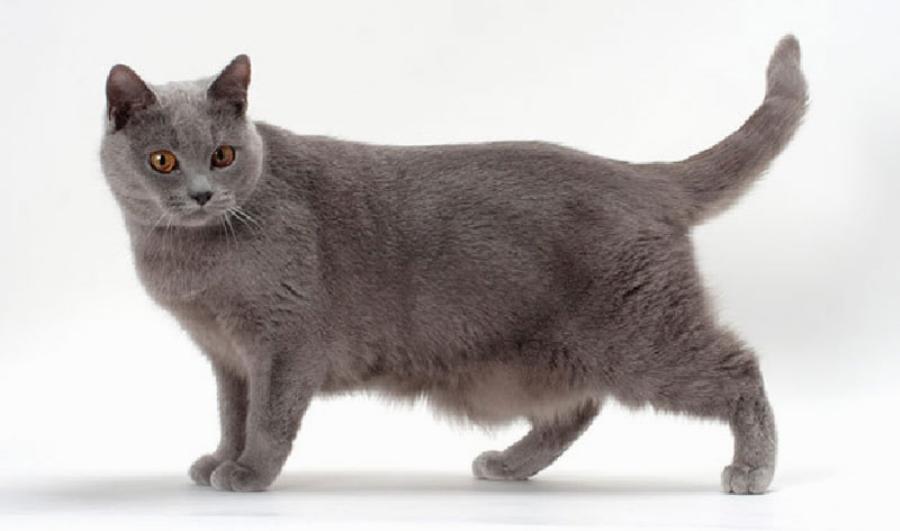 Кошки шартрез - описание породы