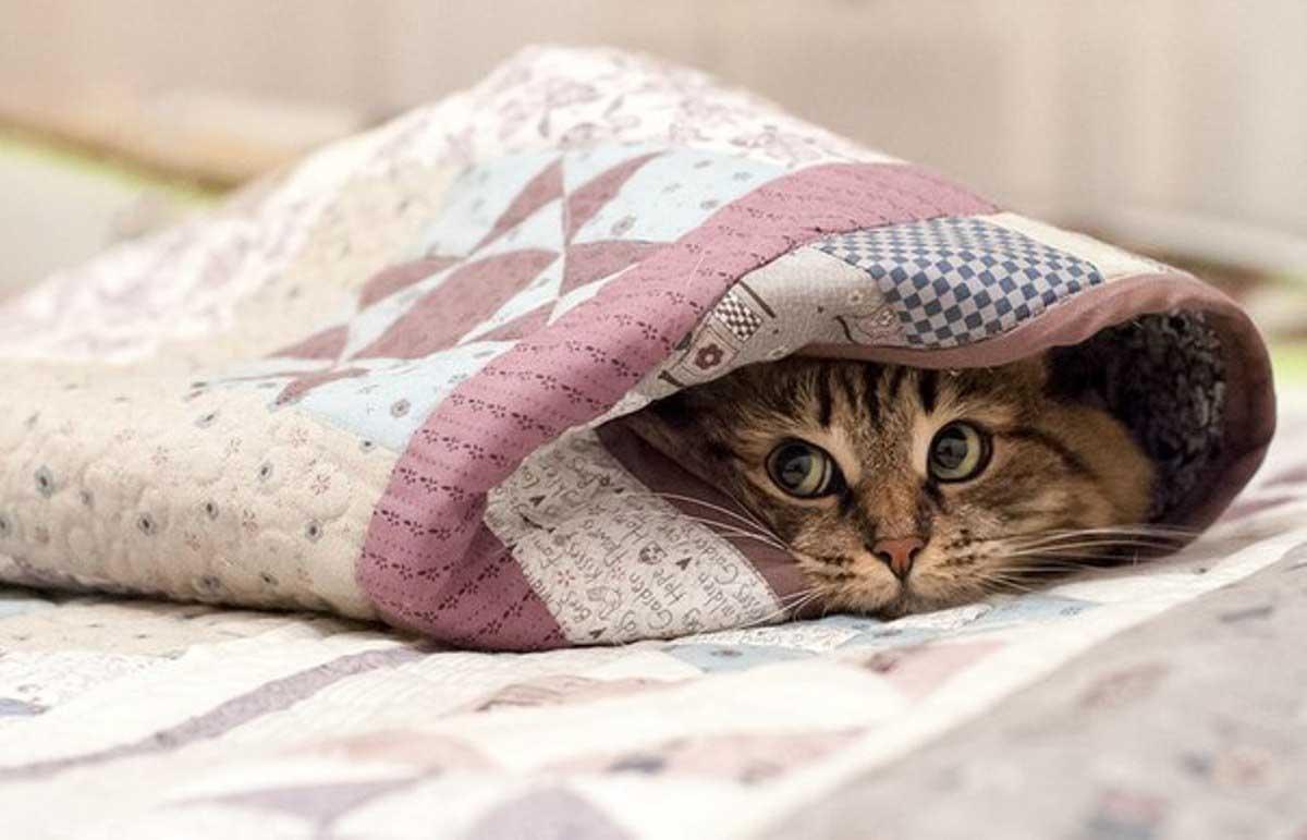 Кот или кошка прячутся под одеялом не только от холода; почему кошки любят  одеяло, а кто-то даже прячет там котёнка, на что обратить внимание, если  кошка мяукает и прячется под одеялом?
