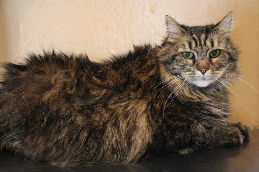Почему у кота шерсть выглядит жирной