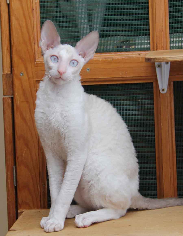 Порода корниш-рекс: белый кот