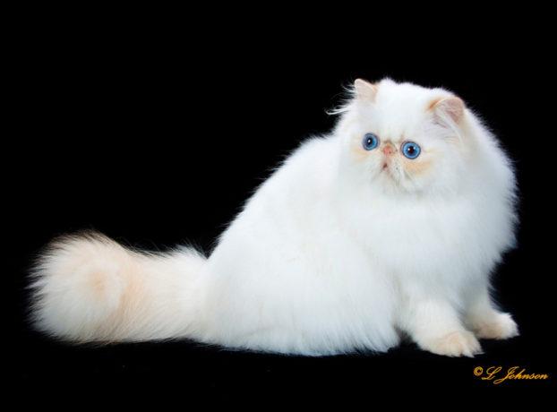 Порода кошек с большими голубыми глазами — гималайская, GC, RW Karabel Baby's Got Blue Eyes, cream point