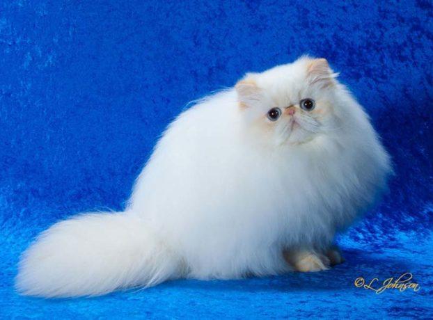 Порода кошек с большими голубыми глазами — гималайская, GC Catbery Tail Jewel of Tana Bru, flame lynx point