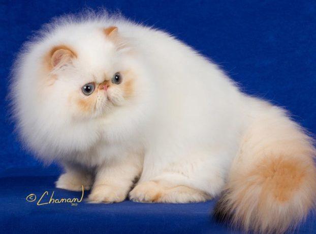 Порода кошек с большими голубыми глазами — гималайская, GC Karabel Get This Party Started, flame point
