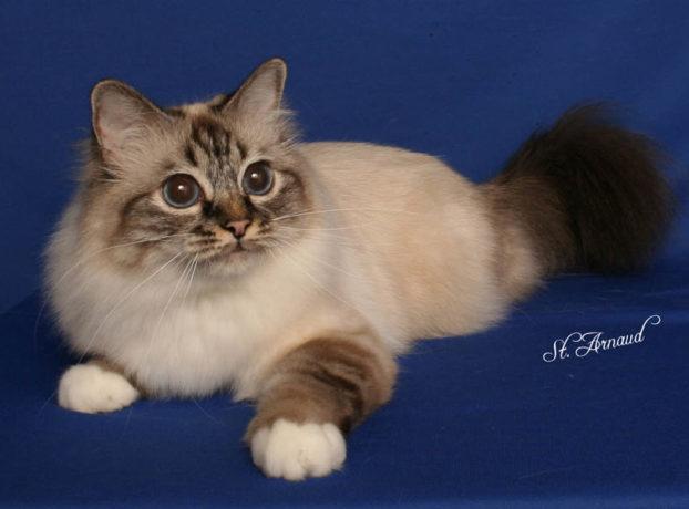 Порода кошек с большими голубыми глазами — священная бирма, GC, GP, RW Twomads Delta Queen, seal lynx point