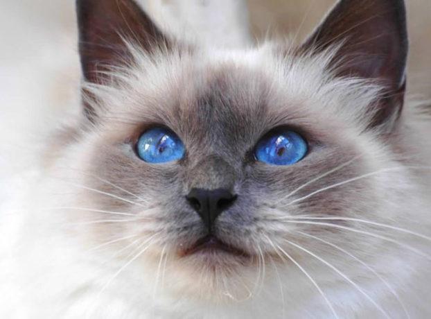 Порода кошек с большими голубыми глазами — священная бирма