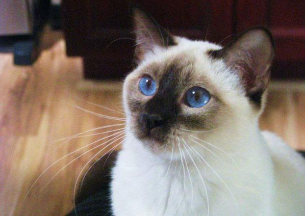 Тайская порода кошек с голубыми глазами