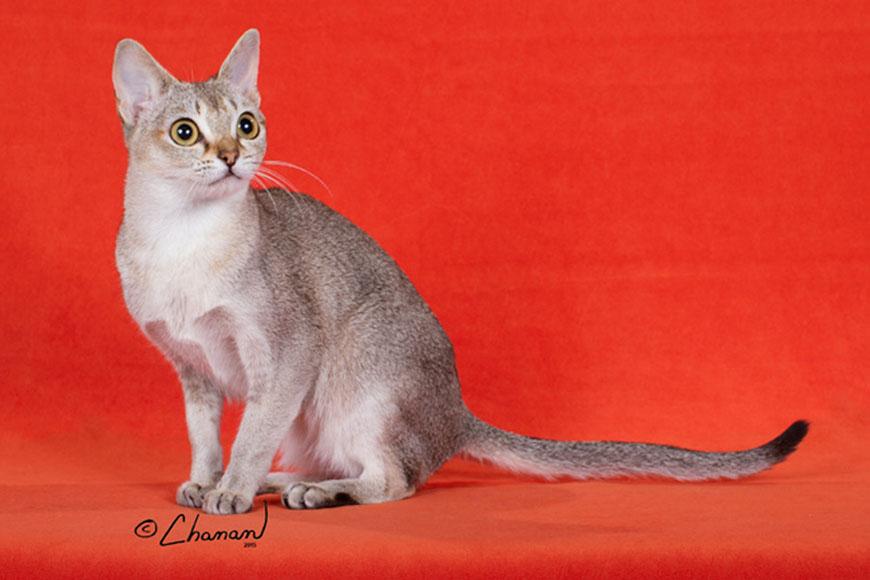 Порода кошек с огромными глазами