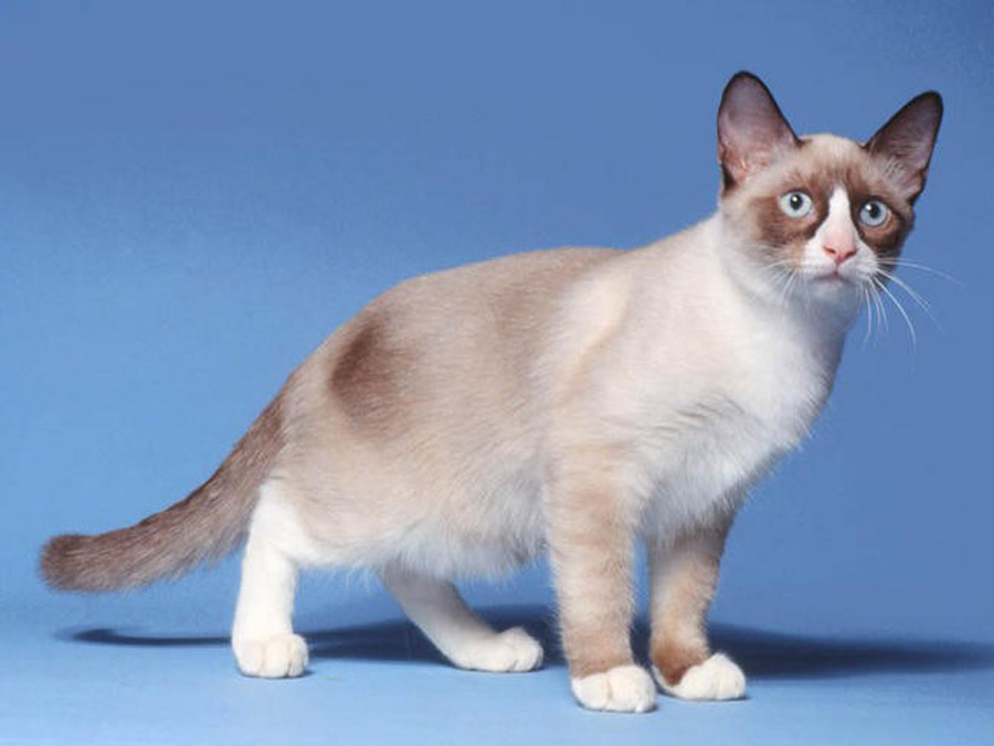 Порода кошек сноу шу: фото