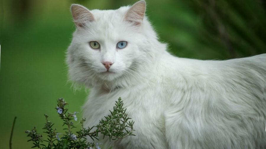 Порода кошек турецкая ангора: фото