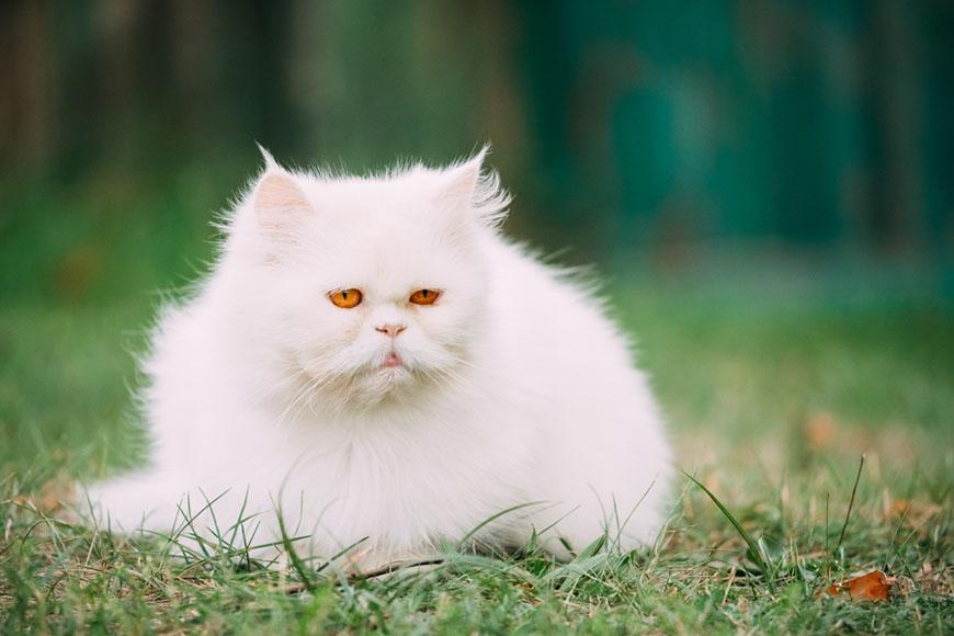 Порода белых кошек с желтыми глазами