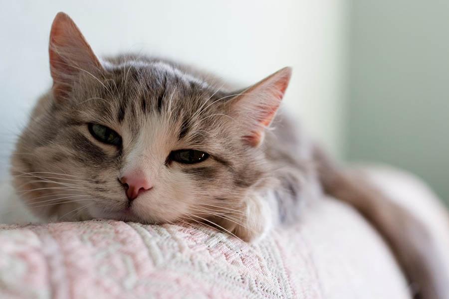 Рак желудка у кота: симптомы
