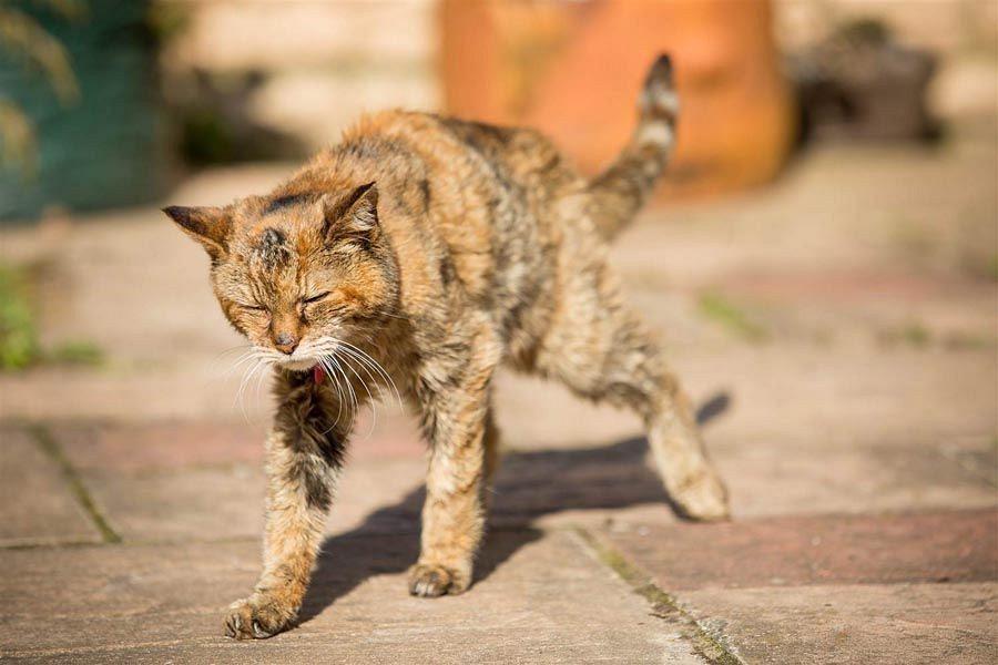 Разрыв сердца у кошек