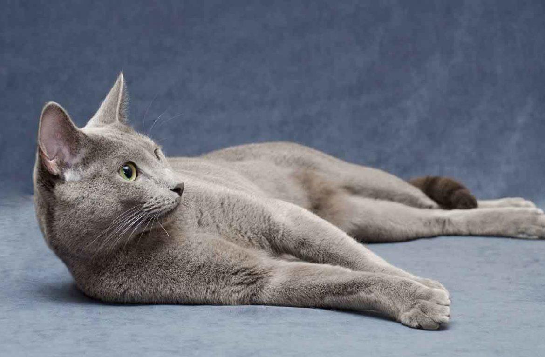 русская голубая порода кошек фото двухкомнатную квартиру новой