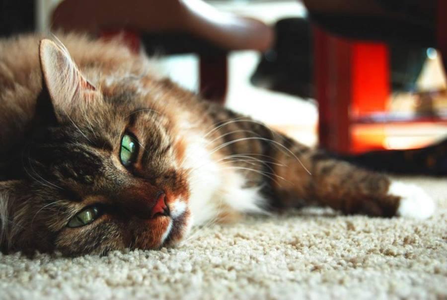 Сахарный диабет у кошек: симптомы