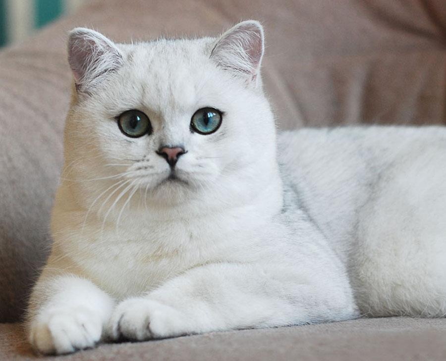 Самые популярные имена для британских кошек