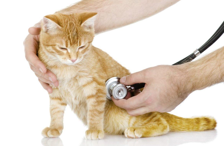 Легочная недостаточность у кошек причины и проявления