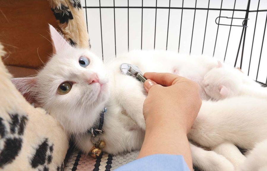 Симптомы сердечного приступа у кошки