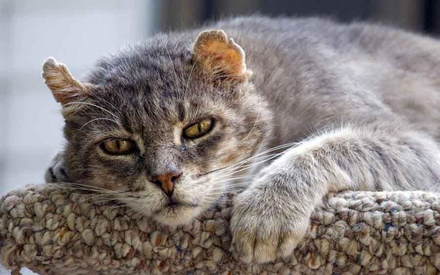 Симпомы сердечного приступа у кота