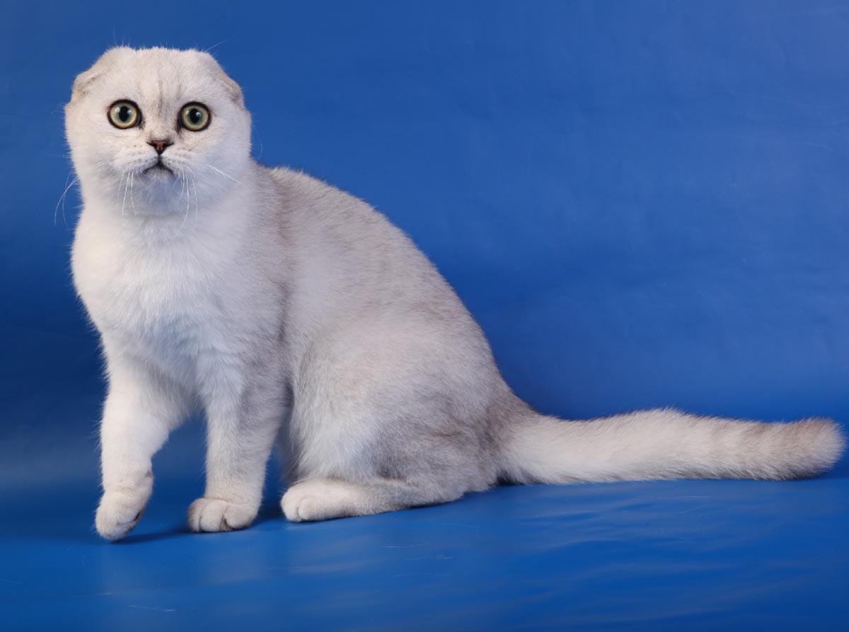 порода кошек шотландцы картинки обратный звонок ближайшее