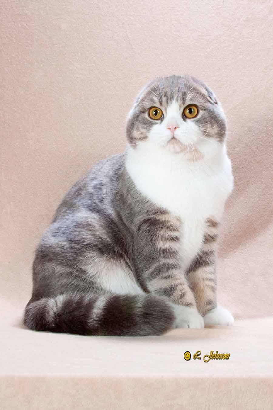 Шотландская вислоухая кошка и британская - отличия