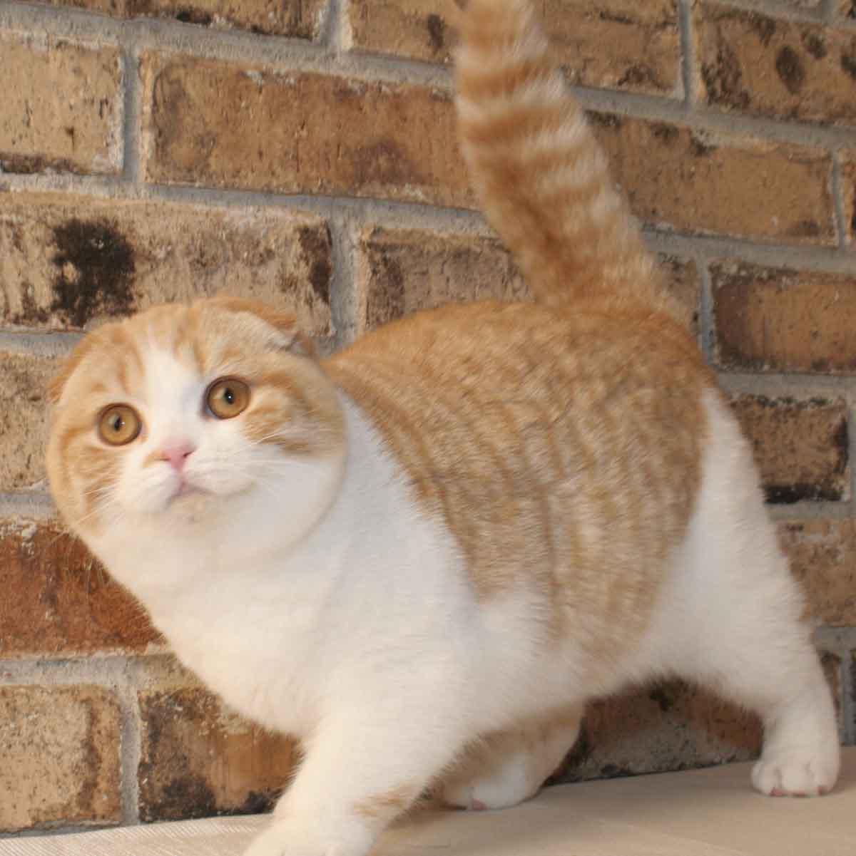 порода кошек без ушей фото брат