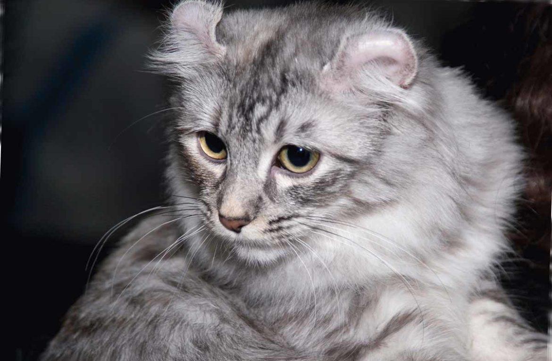 керл кошка фото и цена