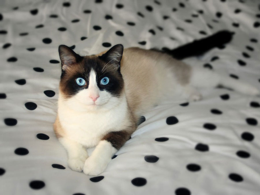 Кошка сноу шу: фото
