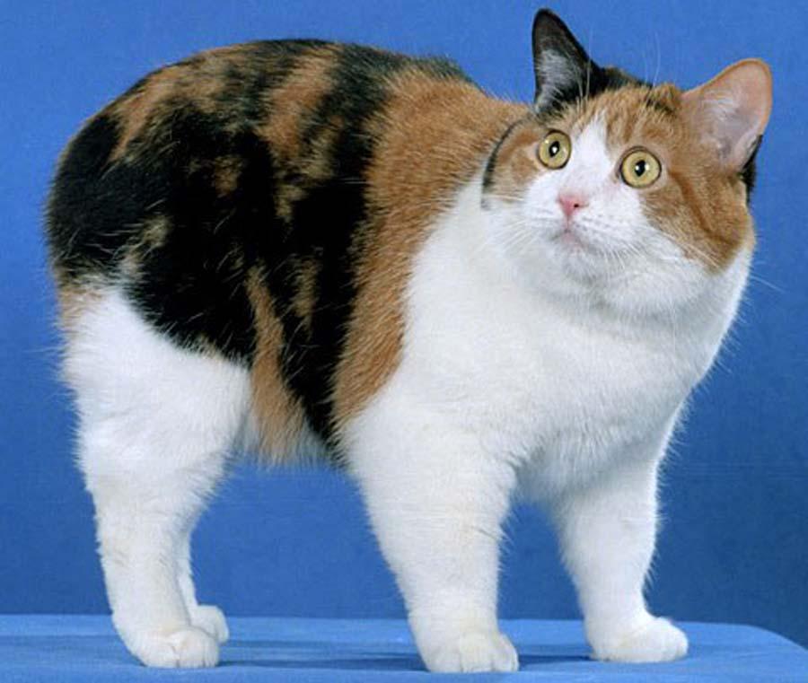 выбрать подходящий бесхвостые кошки порода и фото этот вид