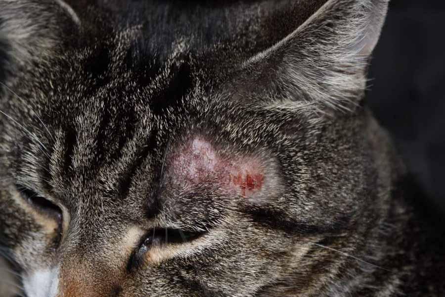 Предается ли стригущий лишай человеку от кошек: фото