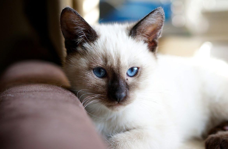Тайская кошка: характер — достоинства и недостатки