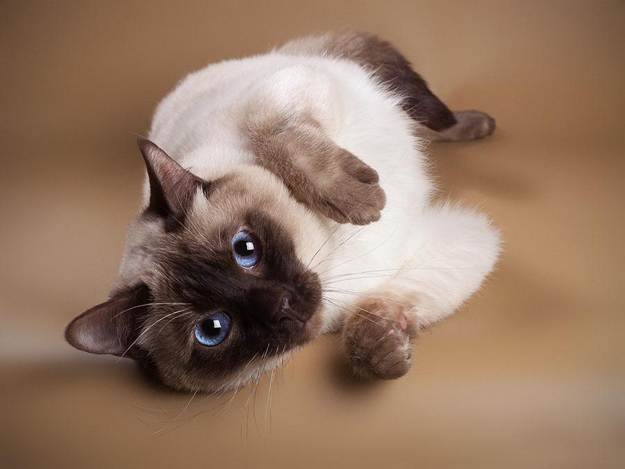 Тайская кошка - недостатки