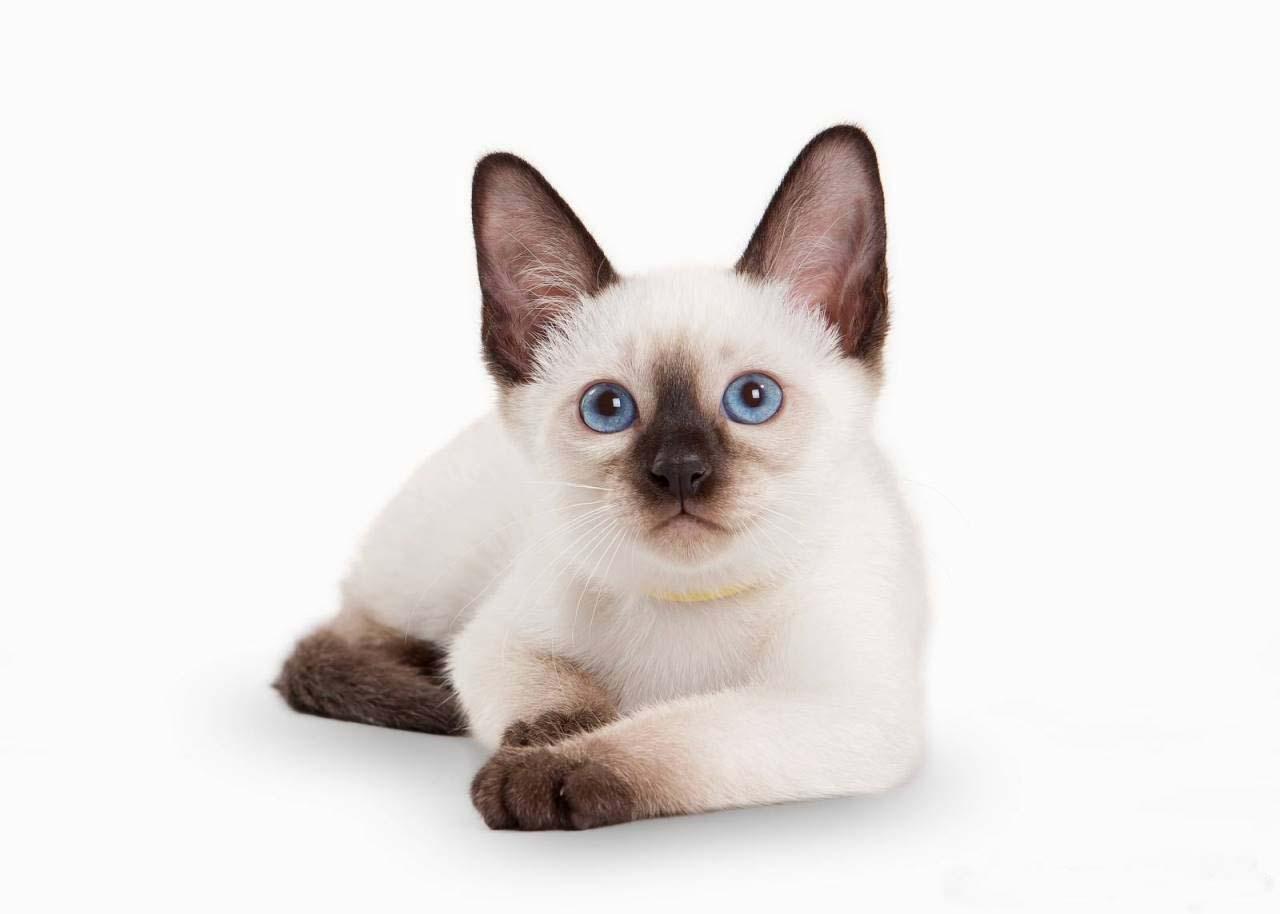 Тайский кот: описание породы