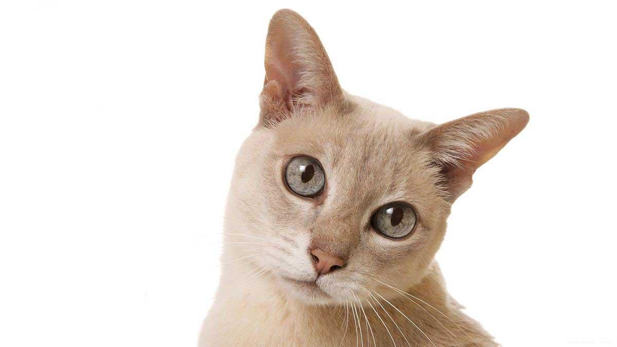 Тонкинская кошка: фото