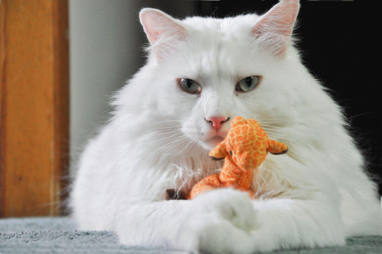 турецкая порода кошек фото