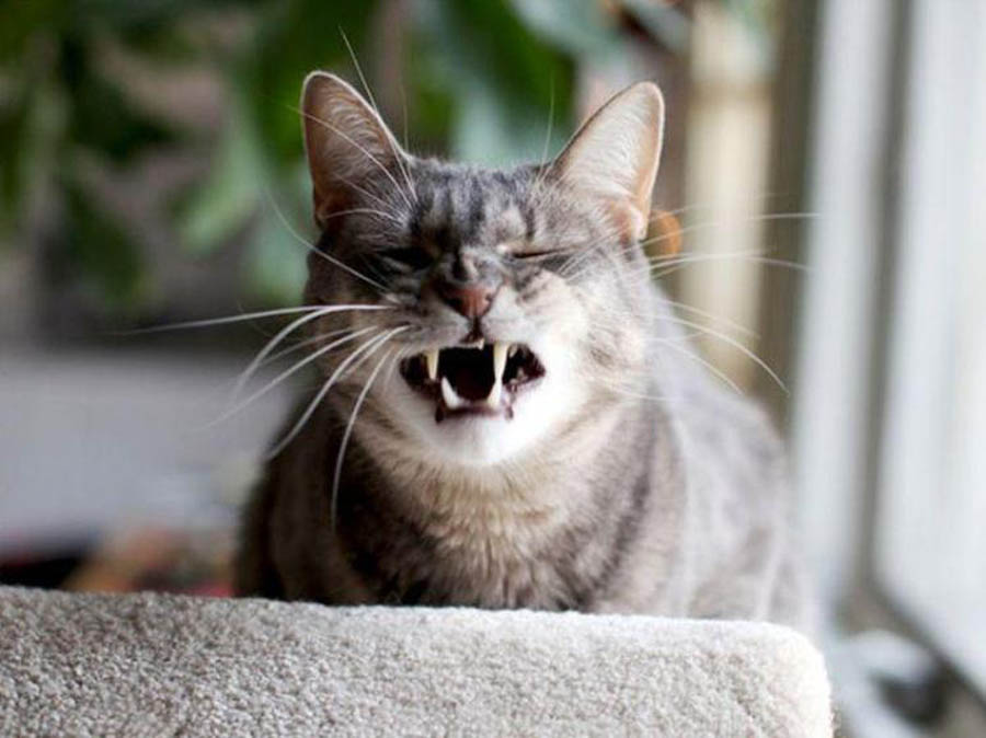 У кошки насморк и чихает: как лечить